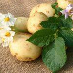 как правильно вырастить семена картофеля