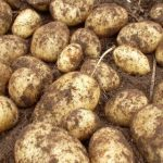 картошка Елизавета фото