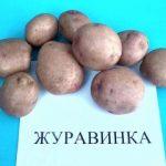 сорт картофеля журавинка фото