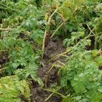 картофельная ботва в компост фото