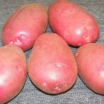 картошка любава фото