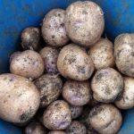 картошка синеглазка фото