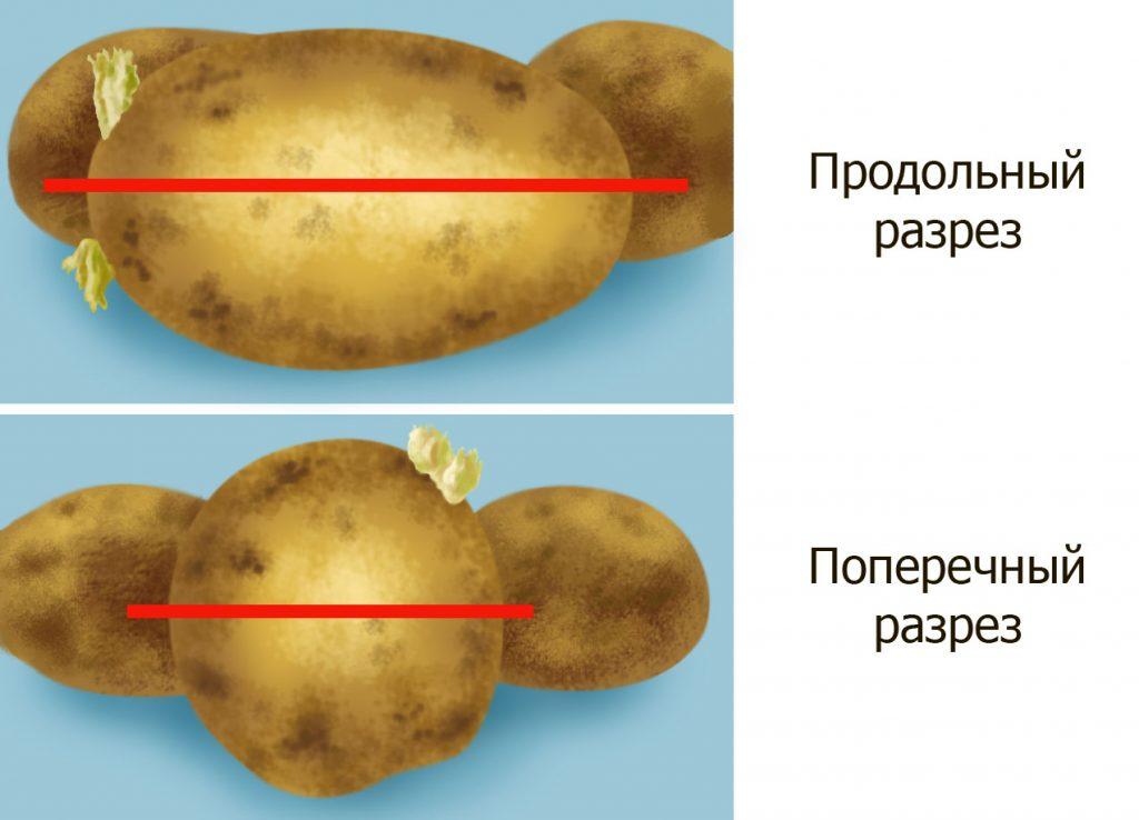 фото методов нарезки картофеля для посадки