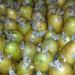 фото обработки клубней картошки перед посадкой