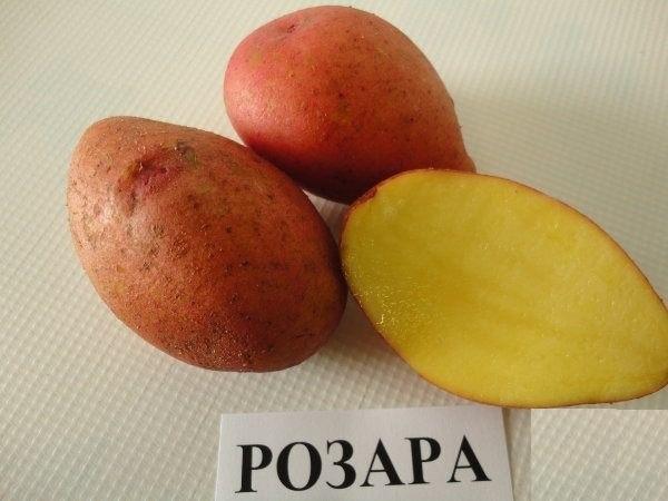 нас сорт картофеля розара описание фото отзывы переехал
