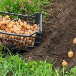 правильная глубина посадки картошки
