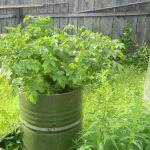 растущий в бочке картофель фото
