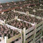 хранение картофеля в подвале фото