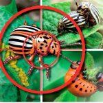 птицы от колорадского жука