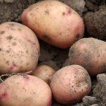 фото луговской картошки