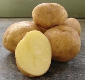 картофель колобок описание сорта фото отзывы