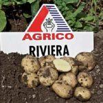 сорт картофеля ривьера фото