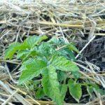 Разные способы мульчирования картофеля для увеличения урожая