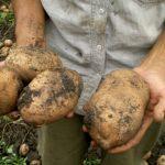 картофель, вырощенный по голандской технологии