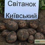 сорт картофеля свитанок фото