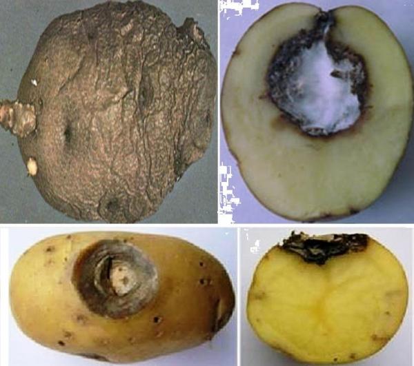 Как избавиться от кольцевой гнили на картофеле