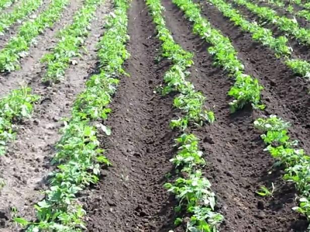 Голландская технология посадки картошки фото
