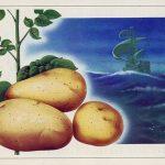 история выращивания картошки