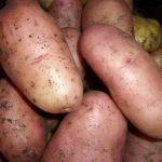 картошка глория фото