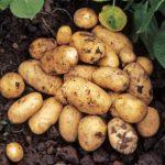 картошка Наташа фото