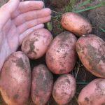 картошка славянка фото