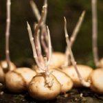 можно ли обламывать ростки картошки