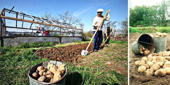 посадка картофеля под лопату фото