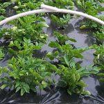 выращивание ранней картошки под агроволокном и пленкой