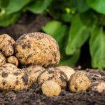 как выбрать удобрения для картошки