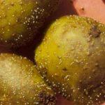 картофельная нематода фото