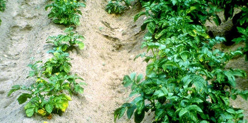 картофельный куст, пораженный нематодой фото