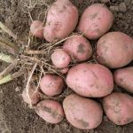 картошка кураж фото