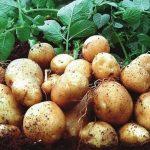 картошка никулинская фото