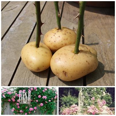 Выращивание розы из букета в картошке 69