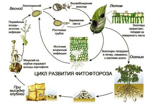 цикл развития фитофтороза фото