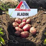 картошка алладин фото