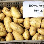картошка королева Анна фото