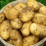 картошка крепыш фото