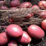 картошка лабелла фото