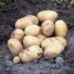 картошка Таиса фото