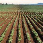 Практика обработки картофеля гербицидами