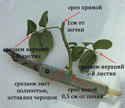 Размножение роз черенками в домашних условиях фото