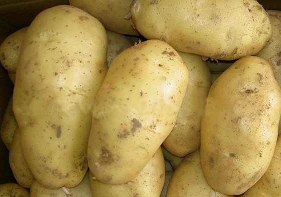 сорт картофеля весна белая характеристика