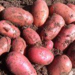 картошка ред леди фото