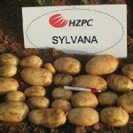 картошка сильвана фото