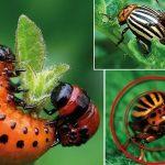 название препаратов от колорадского жука