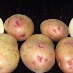 сорт картофеля сказка фото