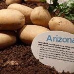 картошка Аризона фото