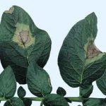 мучнистая роса на кустах картофеля