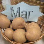 сорт картофеля маг фото